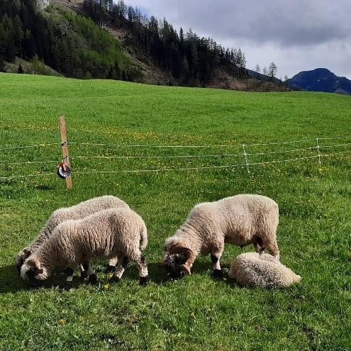 Schafe Steinbachhof